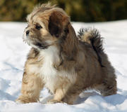 Cute adorable Lhasa Apso Puppies