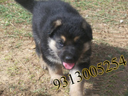 German Shepherd  puppies available at poddarkennel(9313005254)....