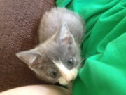 Gray Kittens for FREE