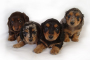 AKC Minature Dachshunds