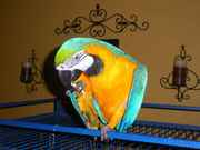 talking blue and gold macaws for adoption